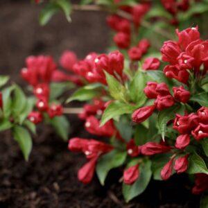 Вейгела Олл Саммер Рэд (All Summer Red) - неприхотливый кустарник для вашего сада