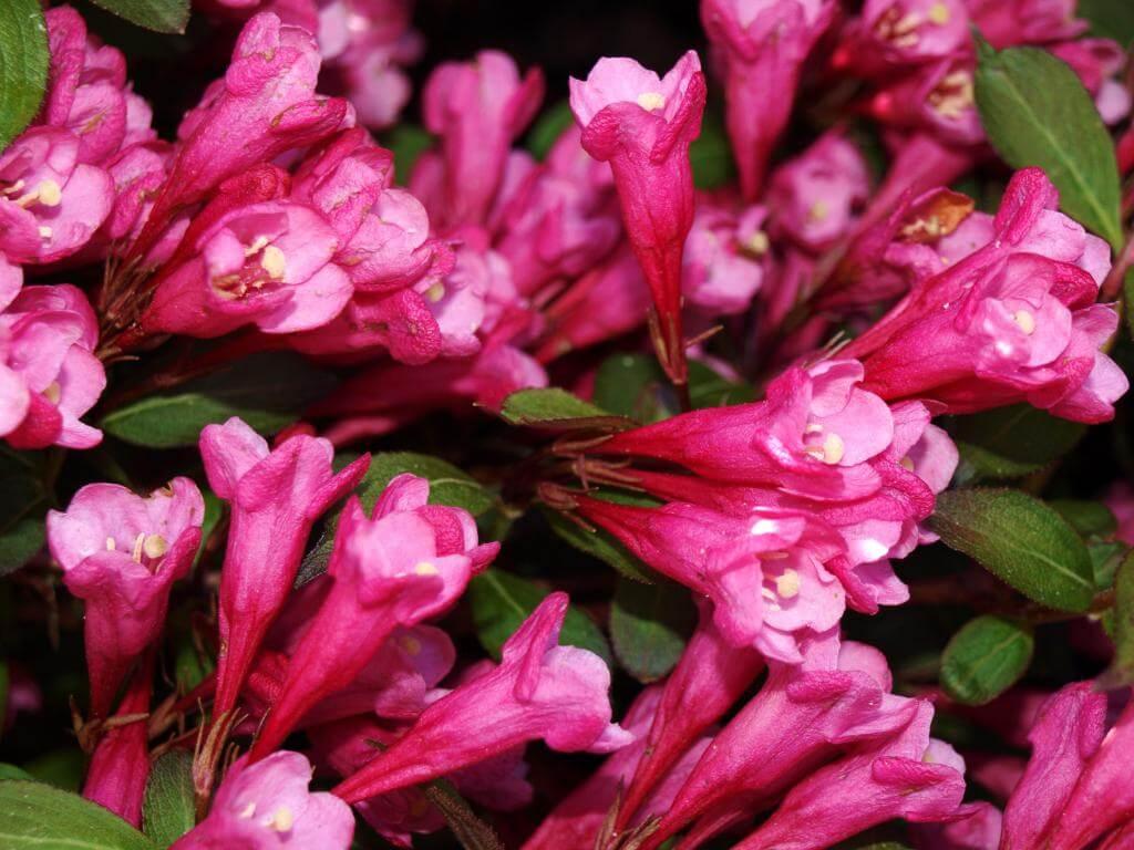 Вейгела Виктория (Weigela Victoria) - кустарник с приятным запахом