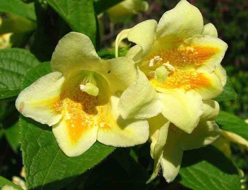 Миддендорфа (W.middendorffiana) - неприхотливая вейгела желтого цвета