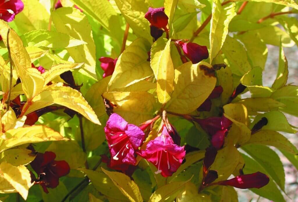 Желтеют листья у вейгелы