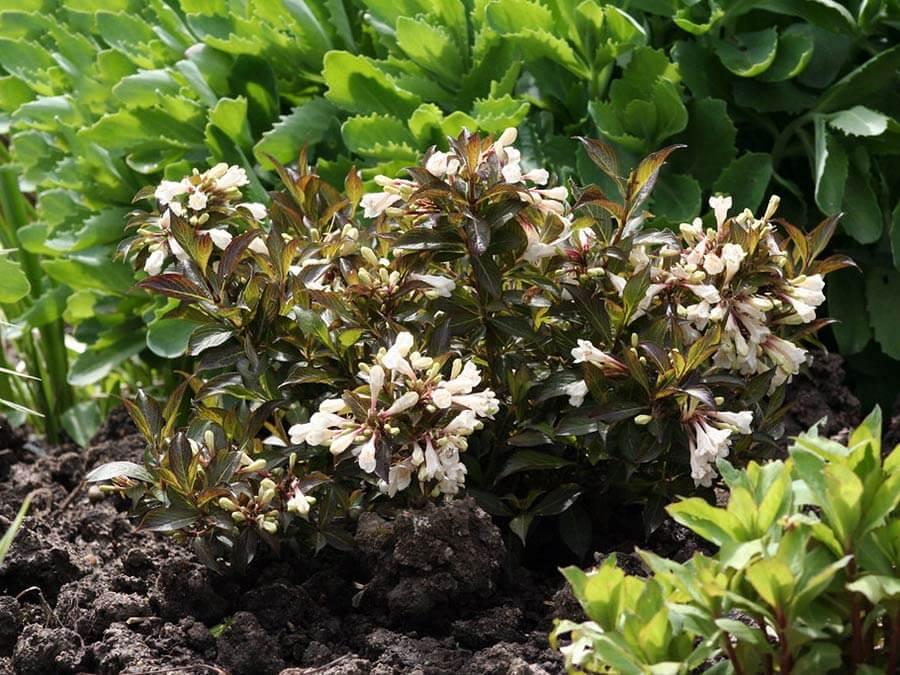 Вейгела Ebony and Ivory (Эбони энд Айвори) - морозостойкий кустарник с необычной расцветкой листвы