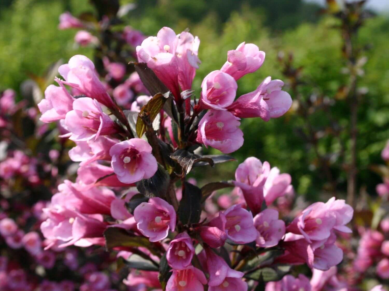 Вейгела Нана Пурпуреа (Nana Purpurea) - низкорослый кустарник с темно-розовыми цветами