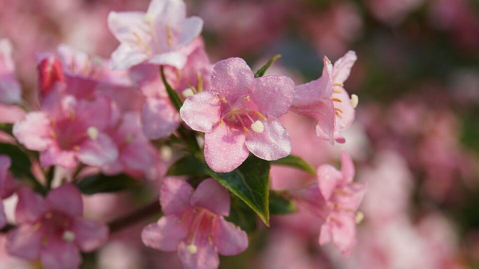 Как вырастить вейгелу на садовом участке, интервью с экспертом