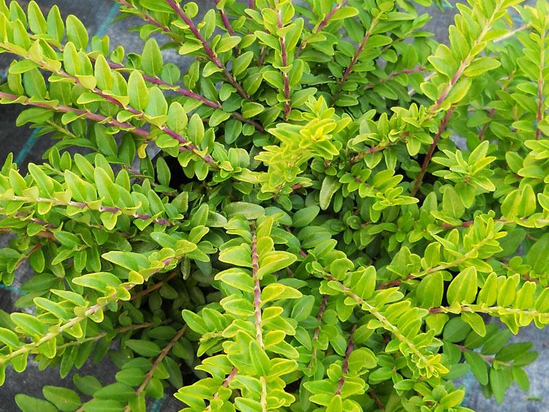 Жимолость вечнозеленая