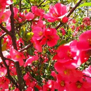 Садовод рассказал, какие цветущие декоративные кустарники самые неприхотливые