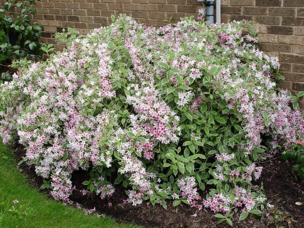 Вейгела, как декорация неприглядных уголков сада