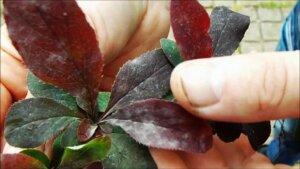 Мучнистая роса на листьях барбариса