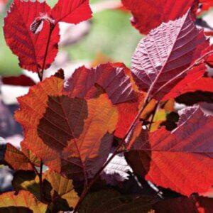 Топ 10 кустарников с красными листьями, фото и описание