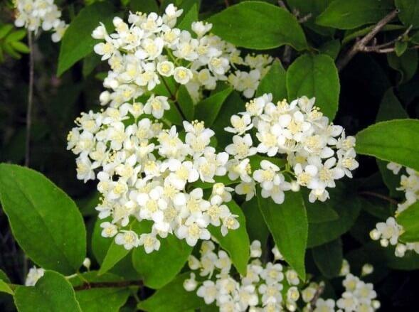 Дейция Амурская Мелкоцветковая – морозостойкий, красиво цветущий кустарник для живой изгороди