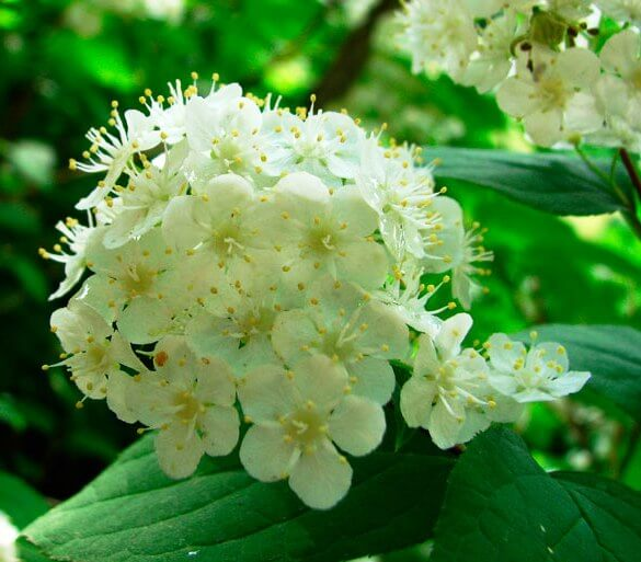 Дейция Амурская Мелкоцветковая цветение