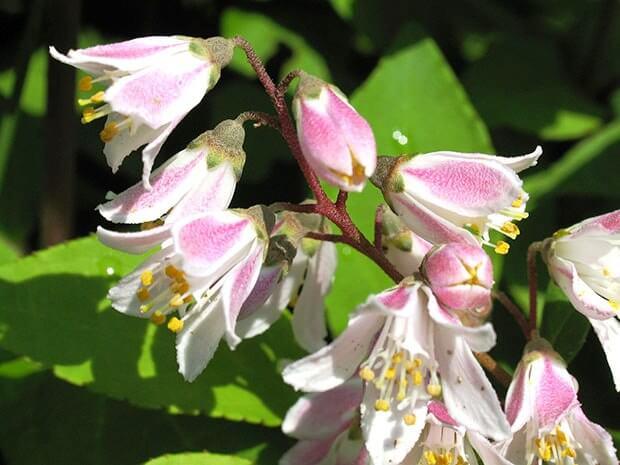 Дейция Ватерера цветение