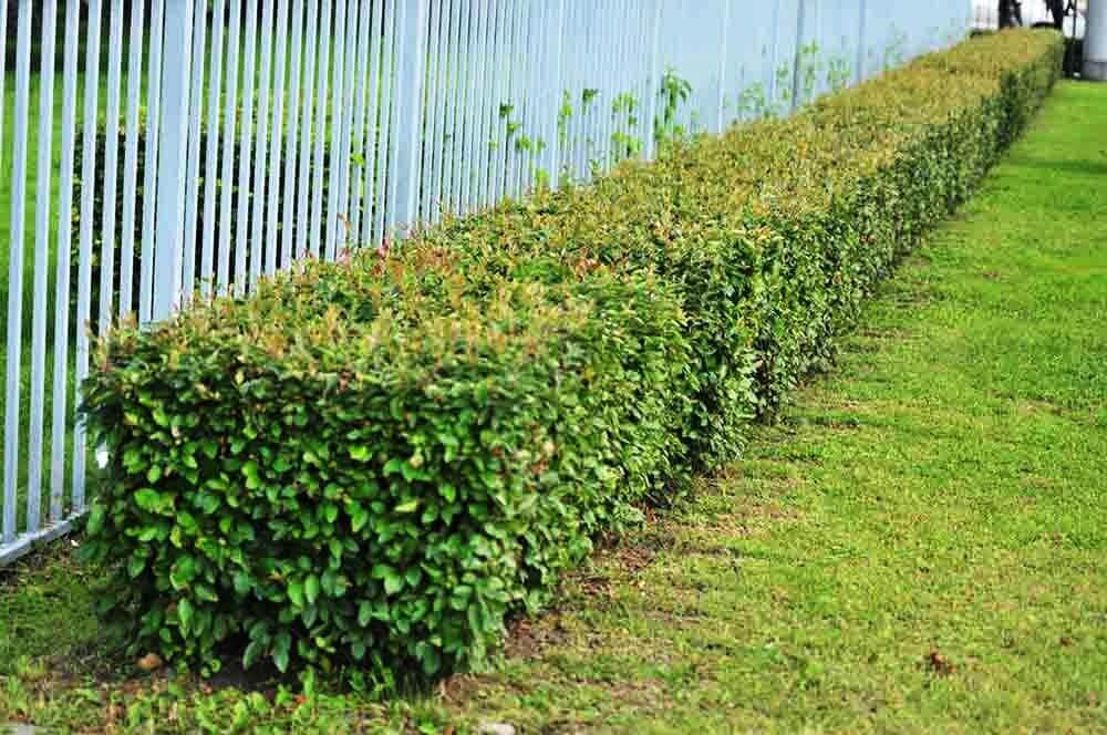 Какие кустарники посадить вдоль забора, лучшие декоративные и плодоносящие растения