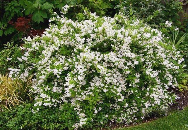 Дейция изящная Creme Fraich - карликовый кустарник для небольшого сада