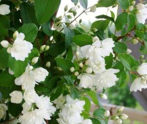 Теневыносливое растение, жасмин садовый или чубушник